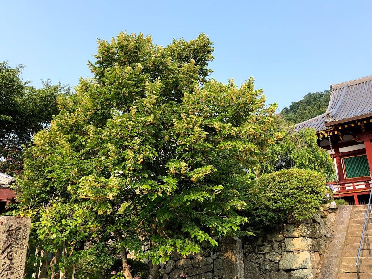矢田寺で菩提樹が咲いております_b0140774_07205835.jpg