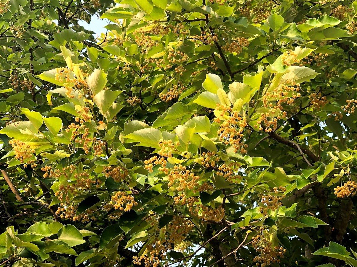 矢田寺で菩提樹が咲いております_b0140774_07211384.jpg