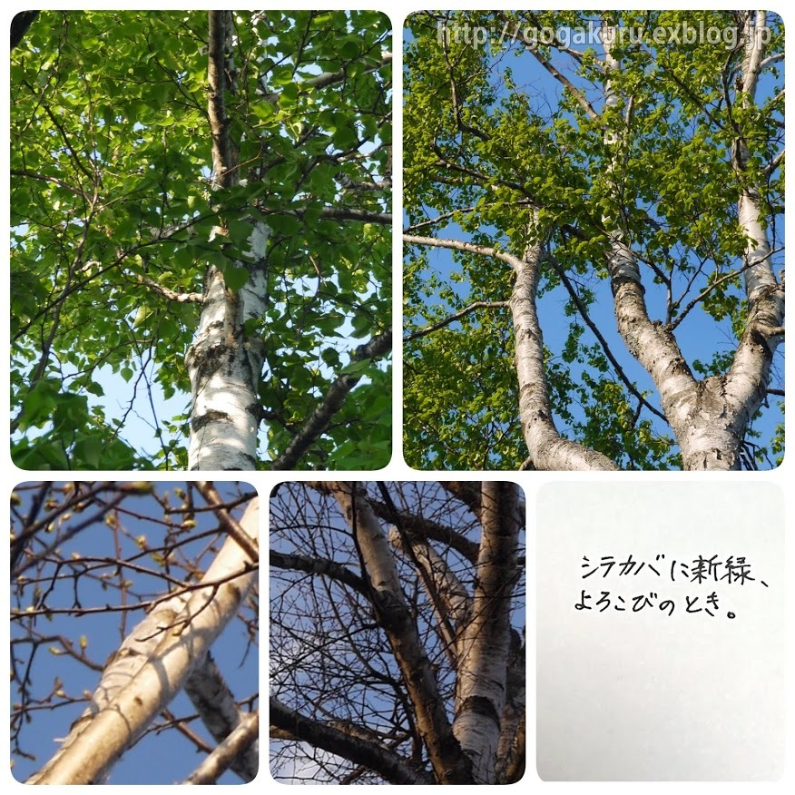 【English】white birch_e0132084_07462208.jpg