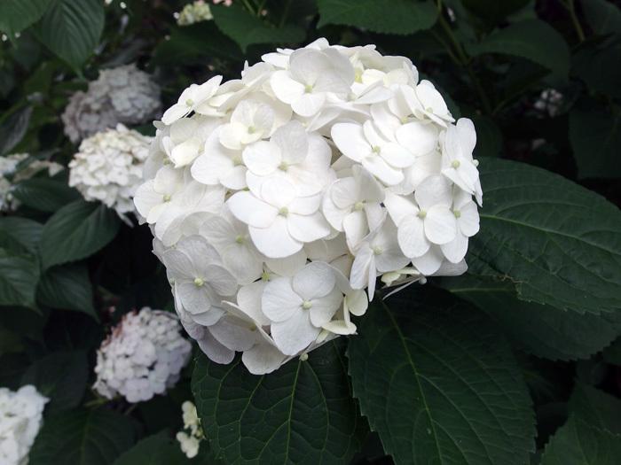 花便り 2019梅雨 ご近所の紫陽花_d0016587_18294271.jpg