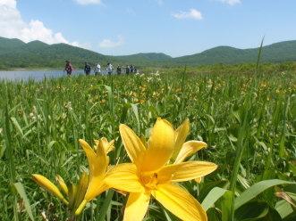 雄国沼、ニッコウキスゲが咲き始めました_a0096989_22553715.jpg