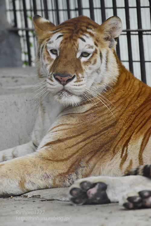 2019.6.15 東北サファリパーク☆トラのステラちゃん【Tiger】_f0250322_1942105.jpg