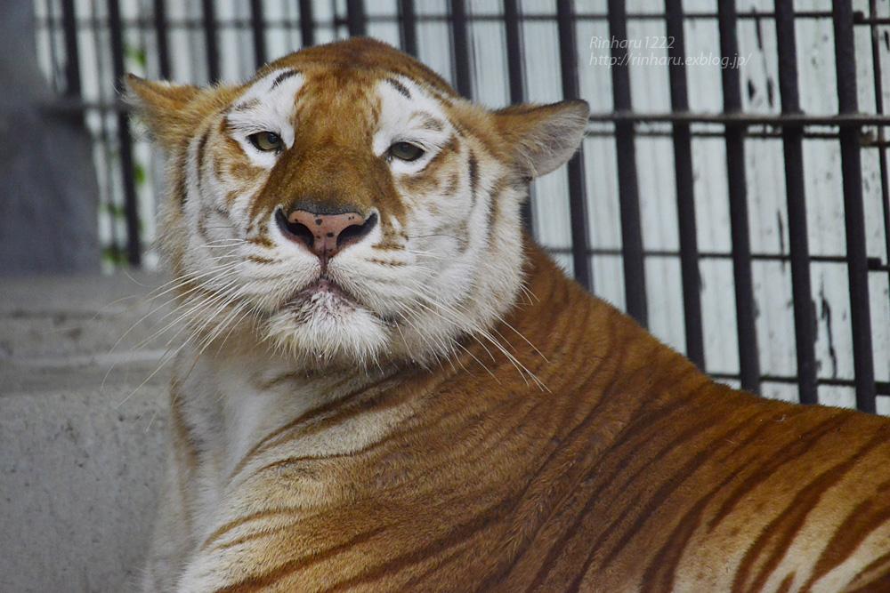2019.6.15 東北サファリパーク☆トラのステラちゃん【Tiger】_f0250322_19421819.jpg