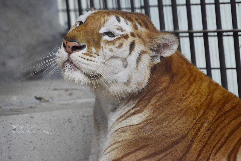 2019.6.15 東北サファリパーク☆トラのステラちゃん【Tiger】_f0250322_19422796.jpg
