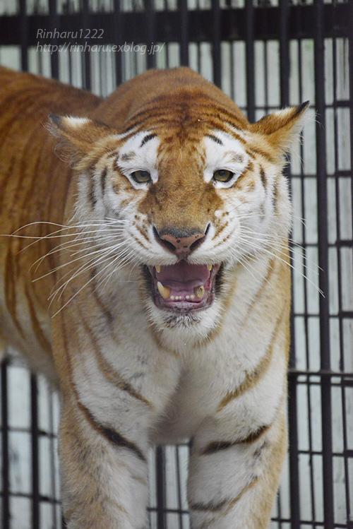 2019.6.15 東北サファリパーク☆トラのステラちゃん【Tiger】_f0250322_19423347.jpg