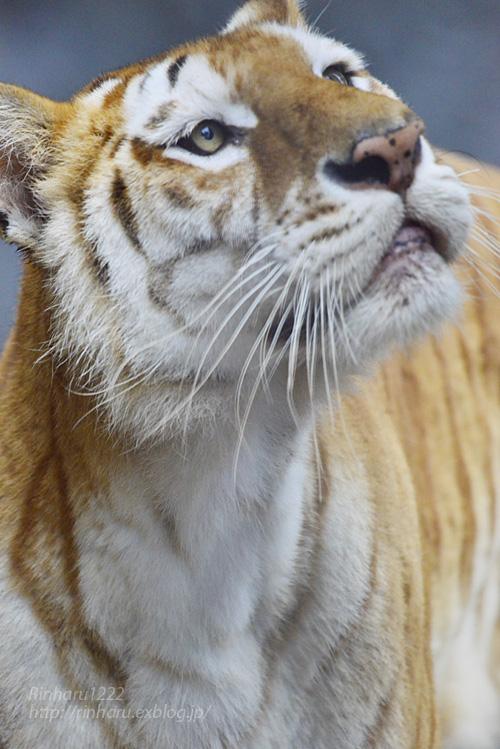 2019.6.15 東北サファリパーク☆トラのステラちゃん【Tiger】_f0250322_19423913.jpg