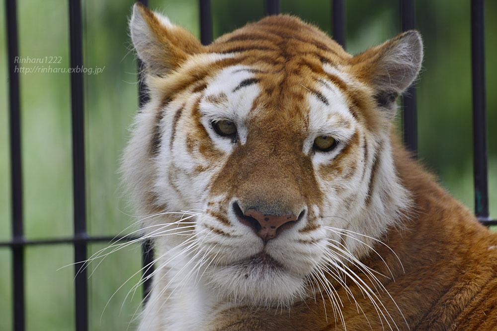 2019.6.15 東北サファリパーク☆トラのステラちゃん【Tiger】_f0250322_19424390.jpg