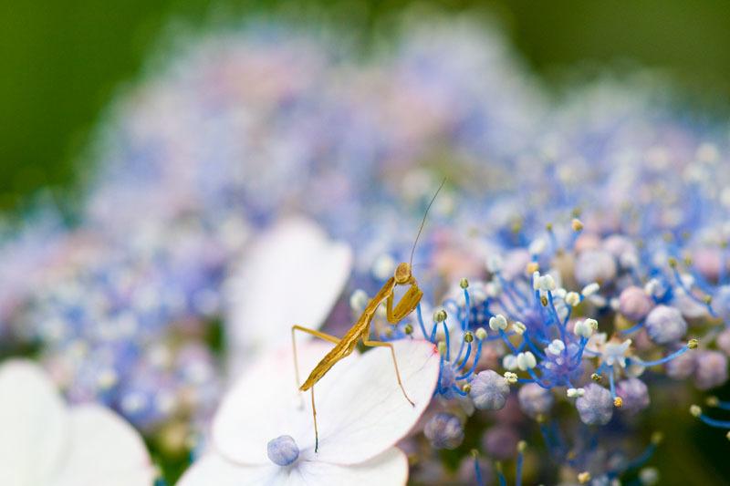 今日の二回目、紫陽花の可愛い子。_e0367330_18215396.jpg