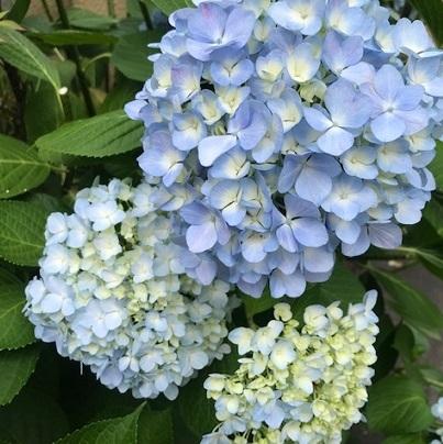 紫陽花の美しい季節・自作の紫陽花の刺繍帯のお客様。_f0181251_18533133.jpg