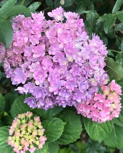 紫陽花の美しい季節・自作の紫陽花の刺繍帯のお客様。_f0181251_18535653.jpg