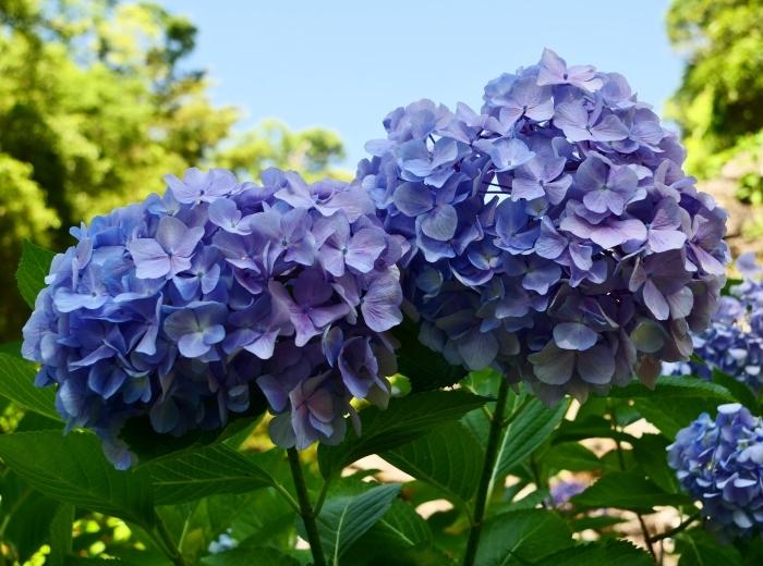 和歌山城のアジサイ園  2019-06-23 00:00      _b0093754_19493805.jpg