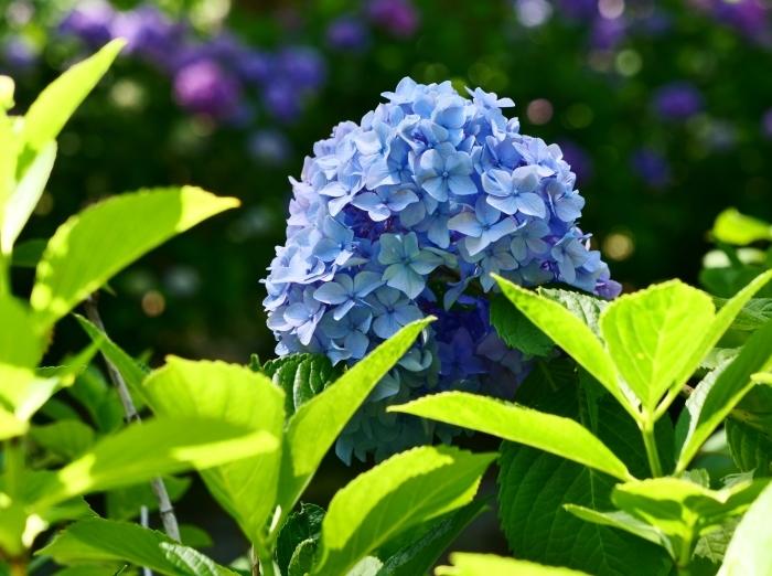 和歌山城のアジサイ園  2019-06-23 00:00      _b0093754_19501367.jpg