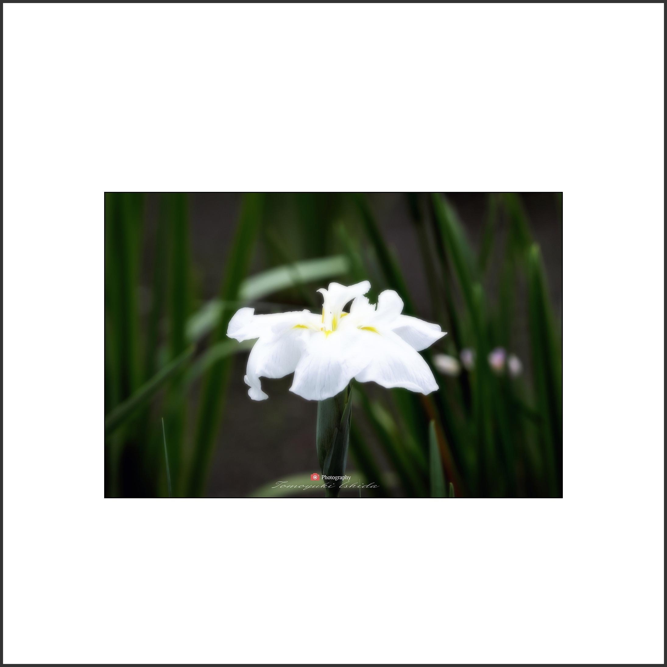 花しょうぶ Ⅱ-3_c0253556_06270106.jpg