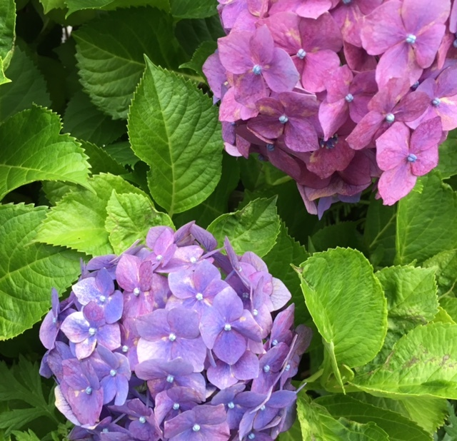 am 6:00   サージュと紫陽花と♪_a0165160_06242620.jpg