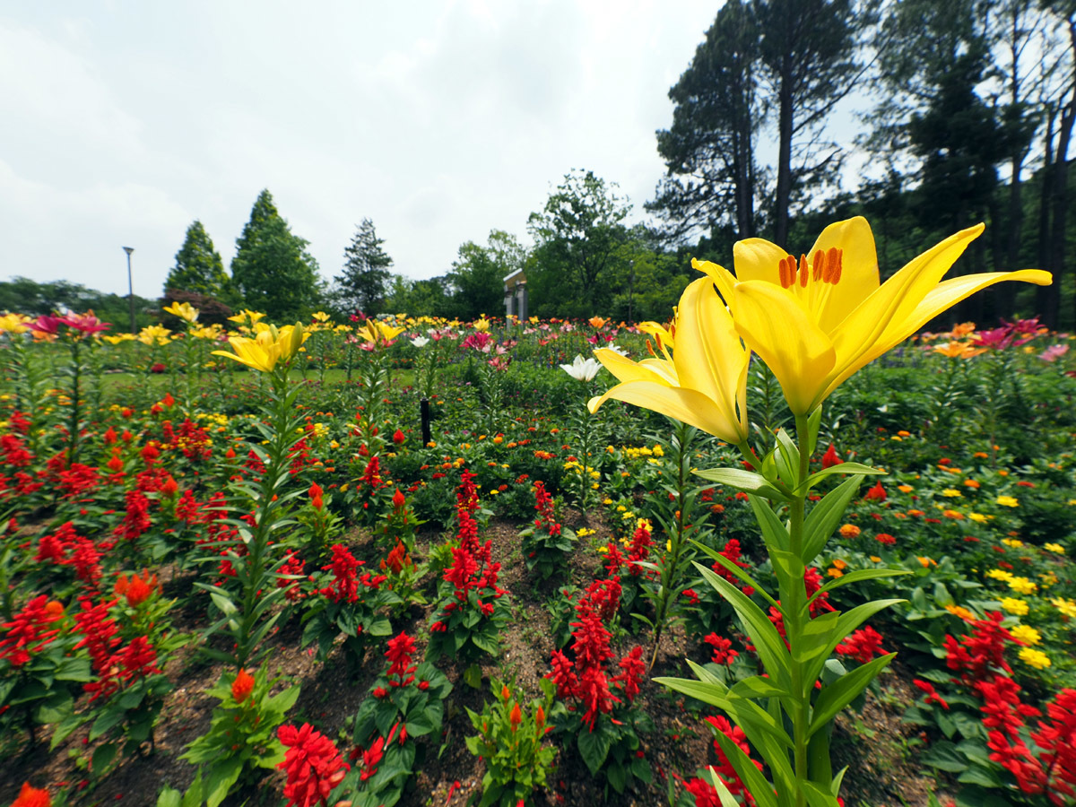 花の文化園 ユリがいっぱい_d0283373_13021123.jpg