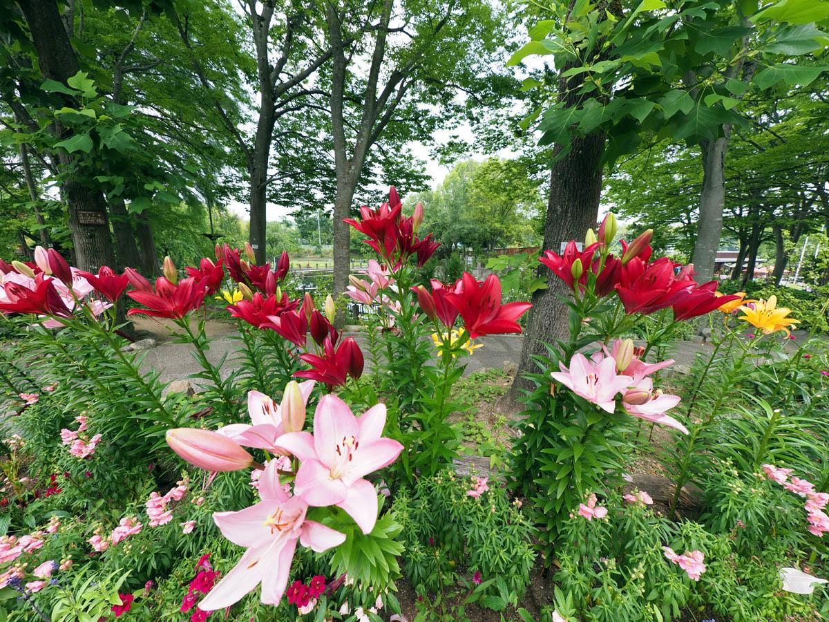 花の文化園 ユリがいっぱい_d0283373_13023443.jpg