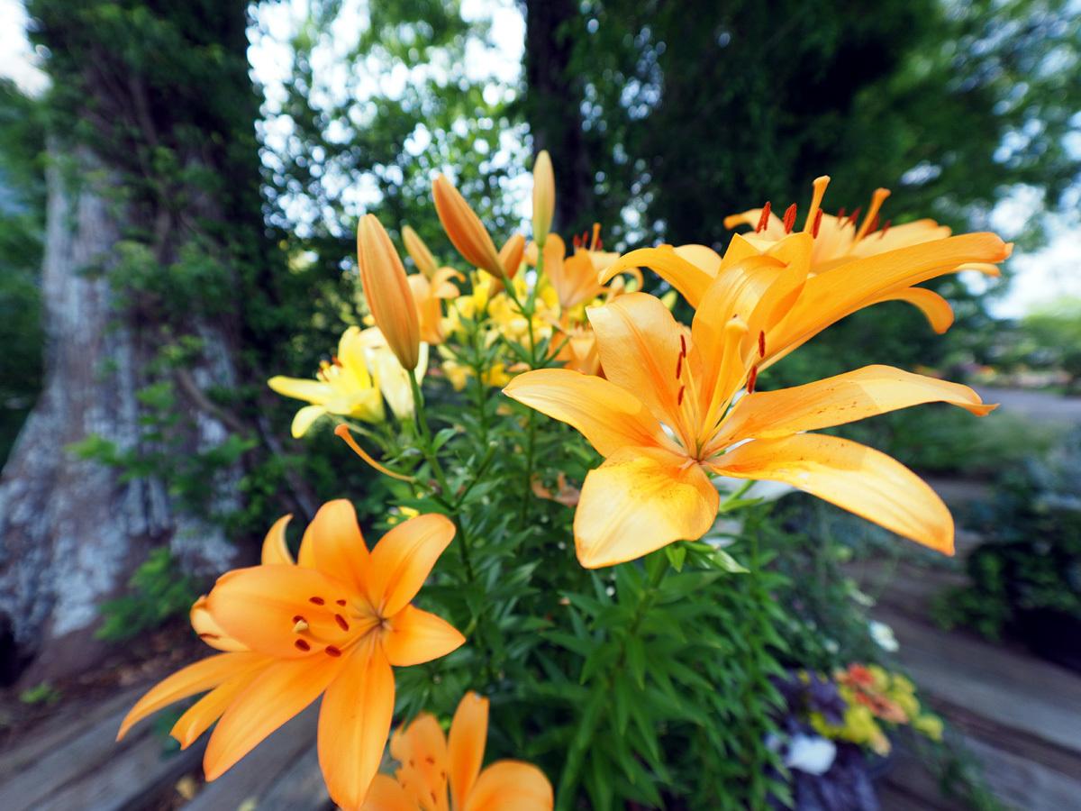 花の文化園 ユリがいっぱい_d0283373_13024916.jpg