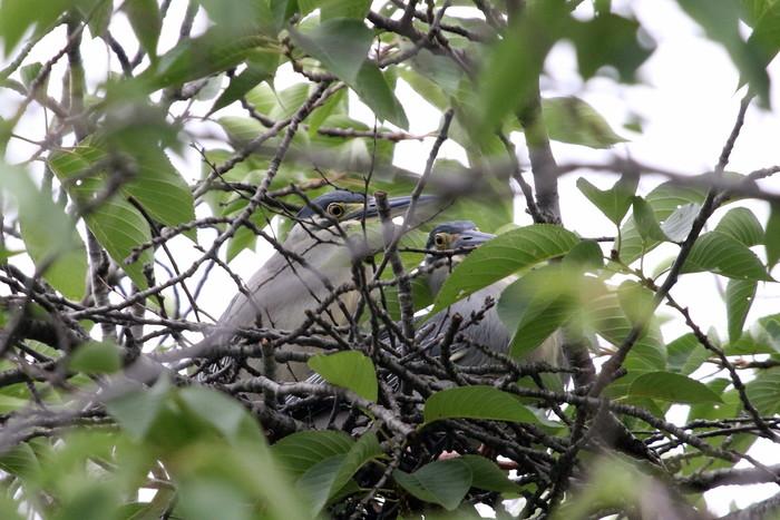 ササゴイ その2巣作りに励んでいました_f0239515_20121362.jpg