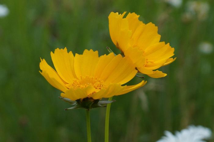 黄色い花_d0162994_15572870.jpg