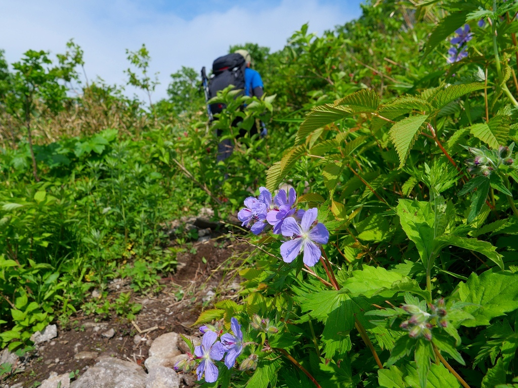 尻別岳と橇負山に樽前山お花畑、2019.6.20_f0138096_16034077.jpg