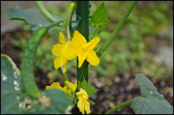 雨上がりの庭の花_b0019313_16203259.jpg
