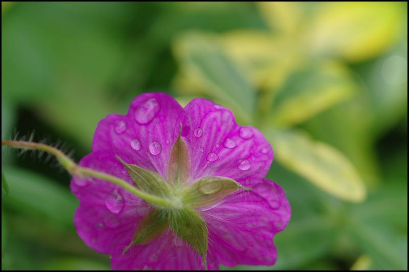 雨上がりの庭の花_b0019313_16205052.jpg