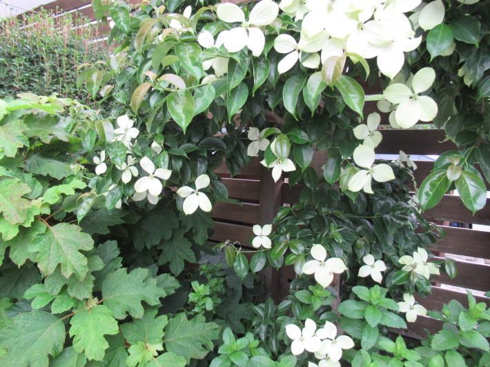 トキワヤマボウシの白い花☆_c0152341_07384050.jpg