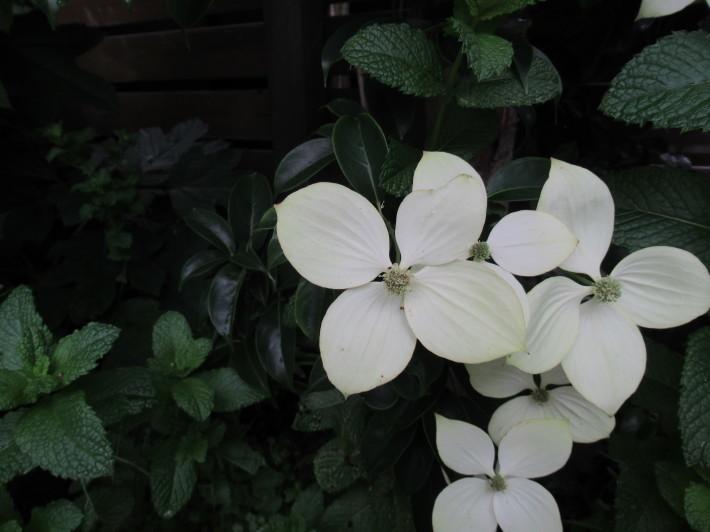 トキワヤマボウシの白い花☆_c0152341_07390084.jpg