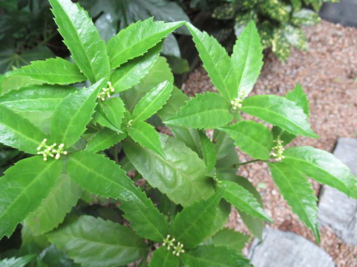 トキワヤマボウシの白い花☆_c0152341_07423556.jpg