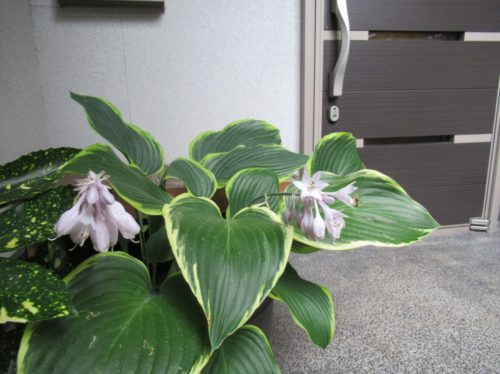 トキワヤマボウシの白い花☆_c0152341_07433526.jpg