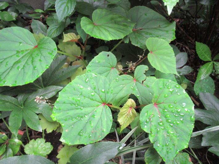 トキワヤマボウシの白い花☆_c0152341_07443582.jpg