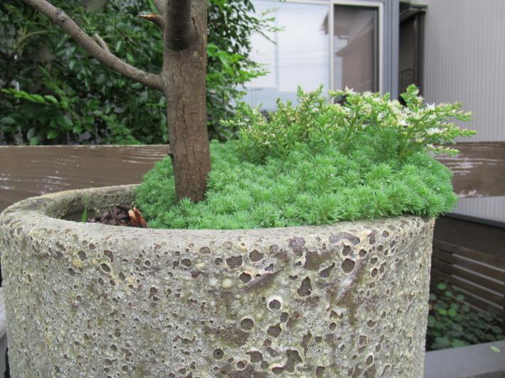 トキワヤマボウシの白い花☆_c0152341_08015618.jpg