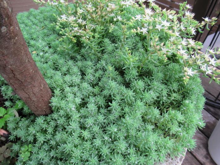 トキワヤマボウシの白い花☆_c0152341_08022041.jpg