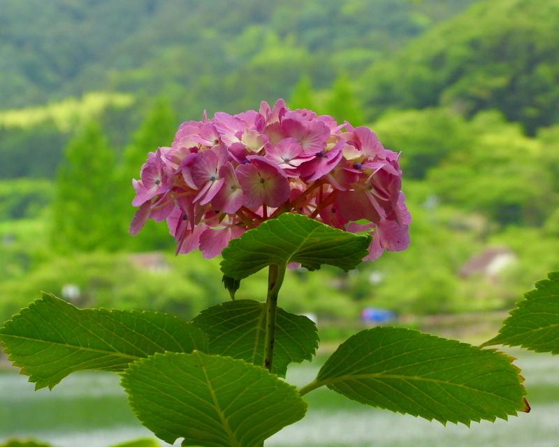 大塩湖で アジサイ三昧_c0305565_16561939.jpg