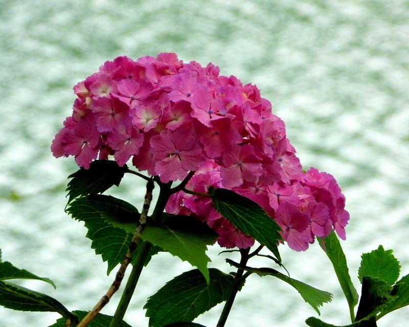 大塩湖で アジサイ三昧_c0305565_16563464.jpg