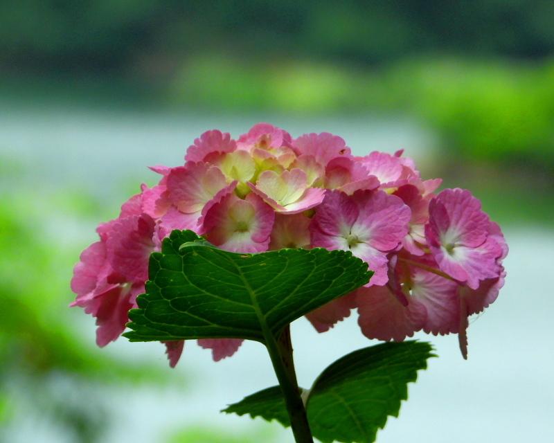 大塩湖で アジサイ三昧_c0305565_16564357.jpg