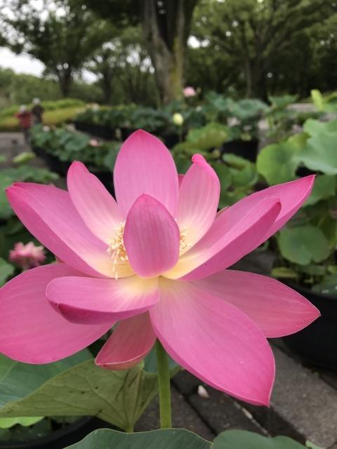 昭和記念公園のハス_a0180279_23243934.jpg
