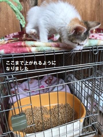 負傷収容だった子猫のふきちゃん_f0242002_12535890.jpg