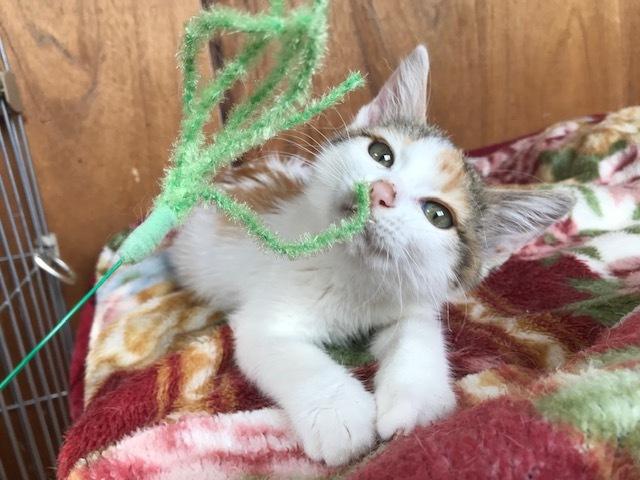 負傷収容だった子猫のふきちゃん_f0242002_12542402.jpg