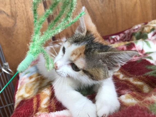 負傷収容だった子猫のふきちゃん_f0242002_12542929.jpg
