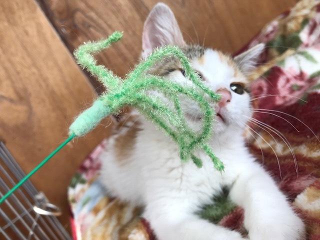 負傷収容だった子猫のふきちゃん_f0242002_12543350.jpg