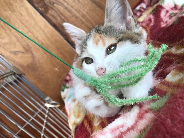 負傷収容だった子猫のふきちゃん_f0242002_12573965.jpg