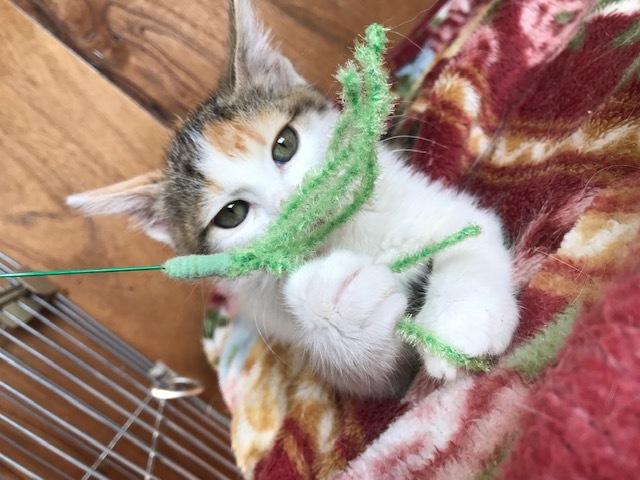 負傷収容だった子猫のふきちゃん_f0242002_12574470.jpg