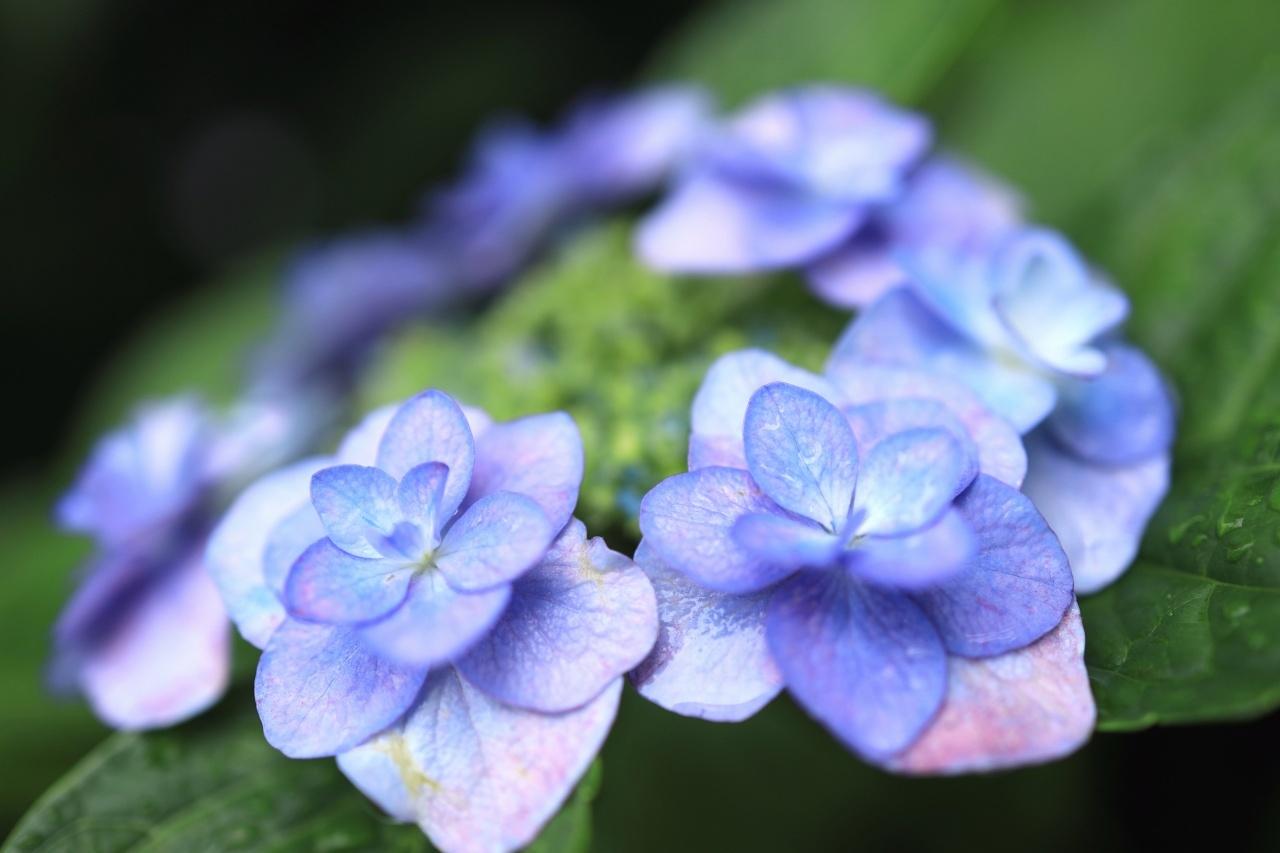 雨上がりの庭~百合が開花_a0188405_08222048.jpg
