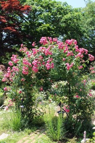 ポンポネッラが咲く小さなアーチ♪_e0341606_20373171.jpg