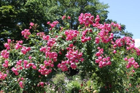ポンポネッラが咲く小さなアーチ♪_e0341606_20394790.jpg