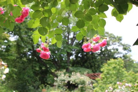 ポンポネッラが咲く小さなアーチ♪_e0341606_20410932.jpg