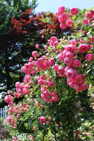 ポンポネッラが咲く小さなアーチ♪_e0341606_20420393.jpg
