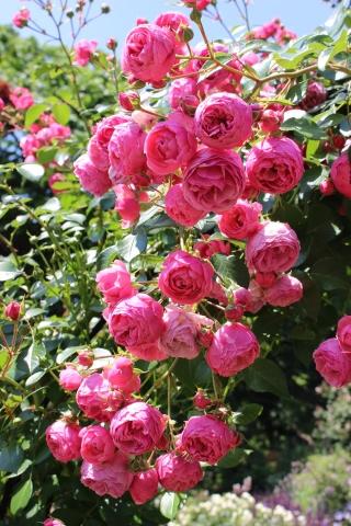 ポンポネッラが咲く小さなアーチ♪_e0341606_20430689.jpg
