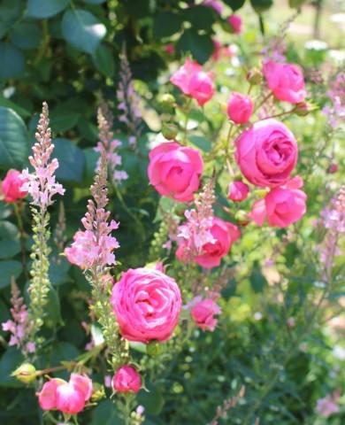 ポンポネッラが咲く小さなアーチ♪_e0341606_20474148.jpg